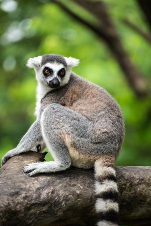catta: ring-tailed lemur (lemur catta)