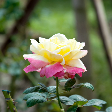 beautiful rose: Beautiful rose flower.