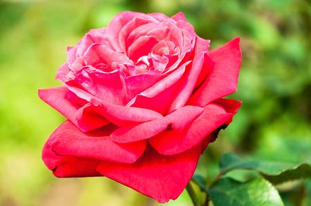 dessin fleur: rose rouge fleur filtre dessin