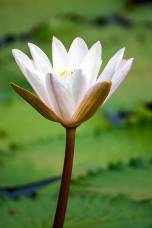 effloresce: white and pink flower lotus and waterlily beautiful in nature