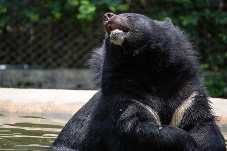 oso negro: Am�rica Oso Negro en el agua