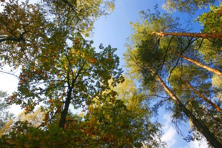 wasatch: 1 stand of aspen trees looking up