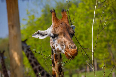 An adult giraffe with small horns gnaws at young tree twigs. Close-up