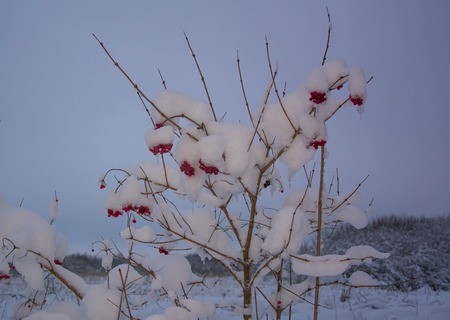 Wild red viburnum berries under snow. Cold and frosty weather