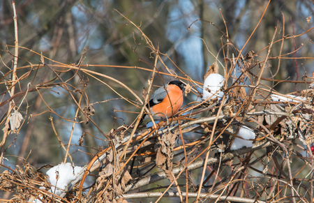 Eurasian bullfinch sitting on branch of viburnum bush. Dry foliage and some snow on brunches. Cold and sunny day