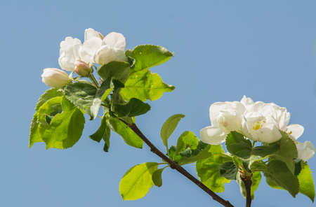Apple tree blossoms in spring with beautiful flowers close-up over blue sky
