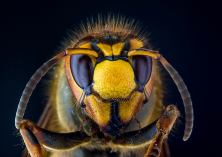 Face of European hornet (Vespa) on black background, extreme close up