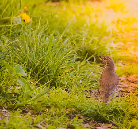 Turdus philomenos (Song Thrush) in grass in the morning