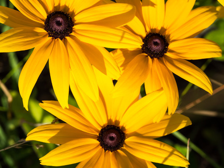 Three yellow Rudbeckia (coneflowers, black-eyed-susans) flowers close-up