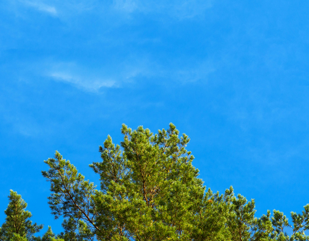 Pine branches against the blue sky on a sunny day, bright blue sky as copy space. Christmas background, nature background