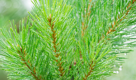A wet pine branch with drops of water on the needles, macro shot