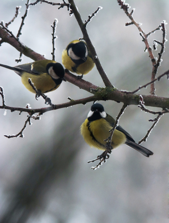 Tomtits on the branch in winter, extreme close up 写真素材