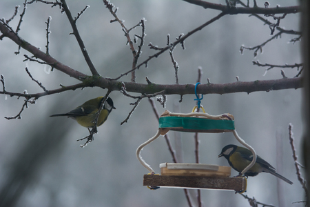 Tomtits on the branch near a bird feeder, close up