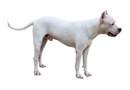 Dogo Argentino dog standing in profile isolated on white Stock Photo