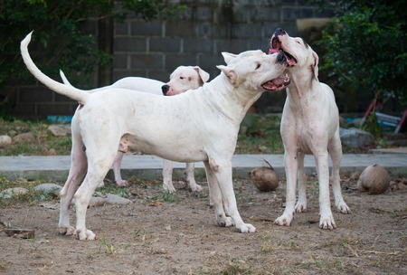 Three Dogo Argentino dogs playing outdoors at the yardin summer