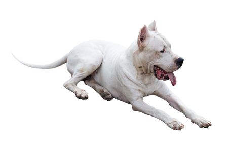 Dogo Argentino dog with cropped ears laying isolated on white Stock Photo