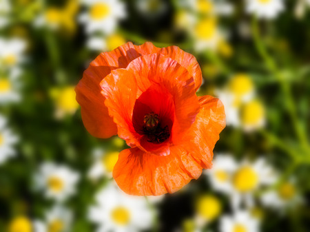 Papaver rhoeas common names include corn poppy , corn rose , field poppy , Flanders poppy , red poppy , red weed , coquelicot, close up
