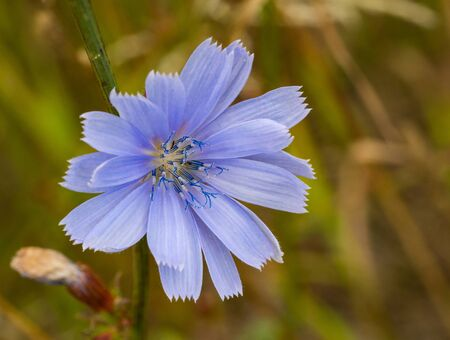 Chicory macro. Common Chicory or Cichorium intybus flower blossom with pollen. Natural floral background