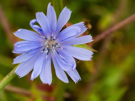 Common Chicory or Cichorium intybus flower blossom, herbal plant macro