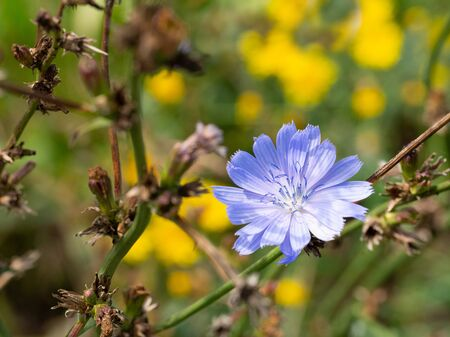 Common chicory blue flower blossom, macro. Wild herbal plant