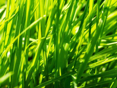 Fresh and juicy green grass in meadow pasture in sunlight, macro. Nature texture abstract background Stock Photo