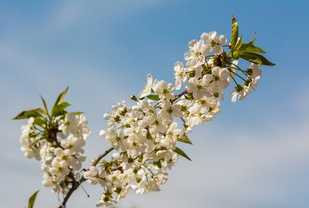 Cherry blossom on branch over blue sky in sunlight