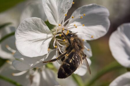 Cherry blossom macro with bee gathering honey in the sunlight Stock Photo