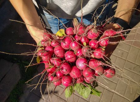 Hands holding bunch of freshly picked radish in sunlight. Top view. Organic vegetables