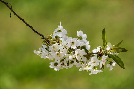 Cherry blossom on branch close-up over blurred grass Stock Photo