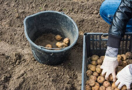 Prepare potatoes for planting. Shifting by hands potatoes with sprouts from box to bucket. Soil background