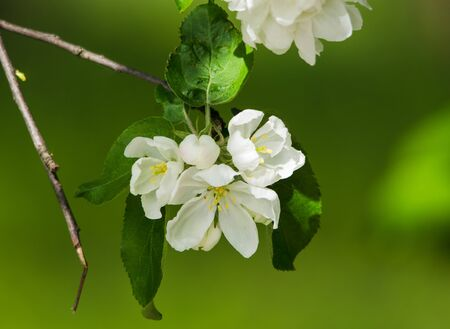 Apple tree blossoms with leaves in spring. Extreme close-up on green background