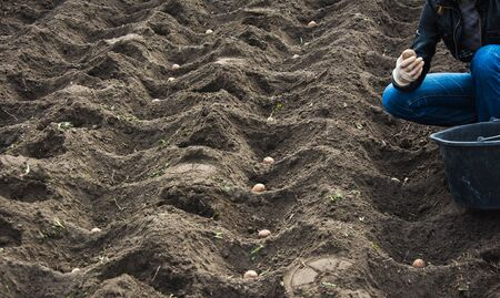 Planting potato beds in spring. Putting potatoes into the soil