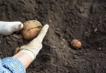 Two hands in gloves cutting potatoes before planting into the soil Stock Photo