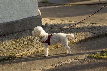 Dog on Leash Looking 写真素材 - 100940505