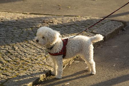 Dog Harness Leash 写真素材