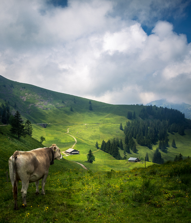 Swiss Mountain Cow Overlooking Landscape And Farm Houses On The Swiss Mountain: Rigi
