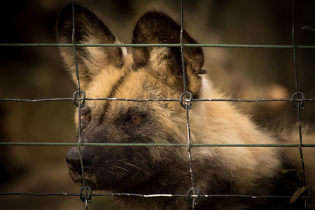 Sad caged Hyena in small cage Stock fotó
