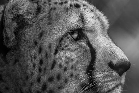 Sad caged cheetah