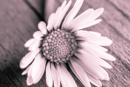 Daisy Flower Stock fotó