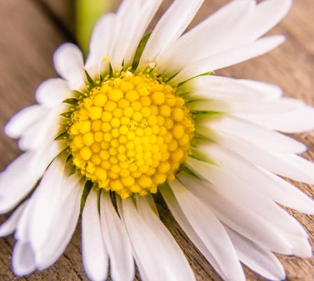 Daisy Flower Close Up Stock fotó