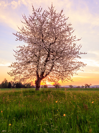 Blossoming Apple Tree And Countryside Landsacpe at Sunset