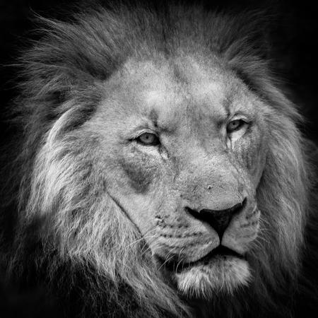 Male Lion Face Close Up