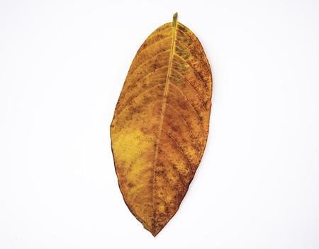 Hoja de naranja aislada sobre fondo blanco. Concepto de naturaleza y otoño. Foto de archivo