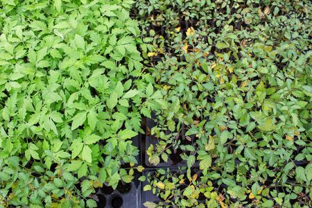 The young plants growing in a greenhouse with sunlight for planting or for sale. Selective focus.