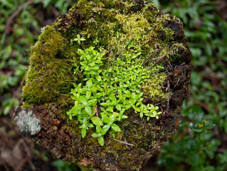 Green moss on rock in the forest of north Thailand.