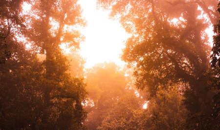 Asian tropical rainforest. Jungle old green tree in Doi Inthanon National Park, Thailand. Zdjęcie Seryjne