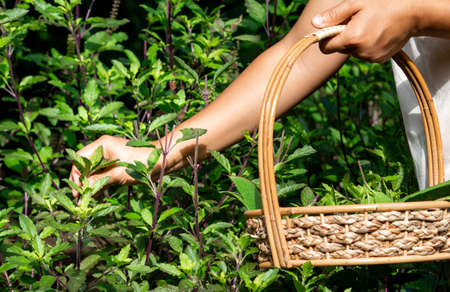 Women's hands collect basil leaves in the backyard vegetable garden. Organic vegetable concept. Agriculture and healthy food.
