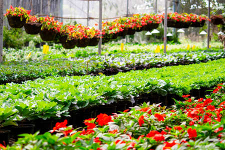 Inside a wide greenhouse for planting flowers to sell plants and flowers in the spring.