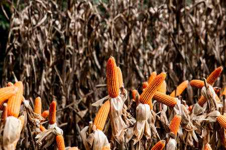 Dry corn cob with mature yellow corn growing ready for harvest in an agricultural field. Zdjęcie Seryjne