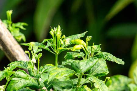 Chilli pepper tree growing in the backyard vegetable garden. Organic vegetable concept.